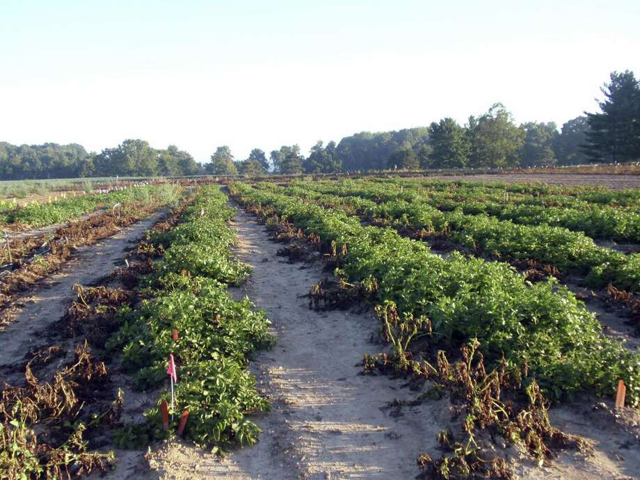 This 2013 photo taken at Michigan State University in East Lansing, Mich., shows wilted conventional potato plants without resistance to the pathogen that caused the Irish potato famine on the left next to rows of J.R. Simplot Co.'s genetically engineered potato plants that are able to resist the disease. Photo: J.R. Simplot Co. / MICHAGAN STATE UNIVERSITY
