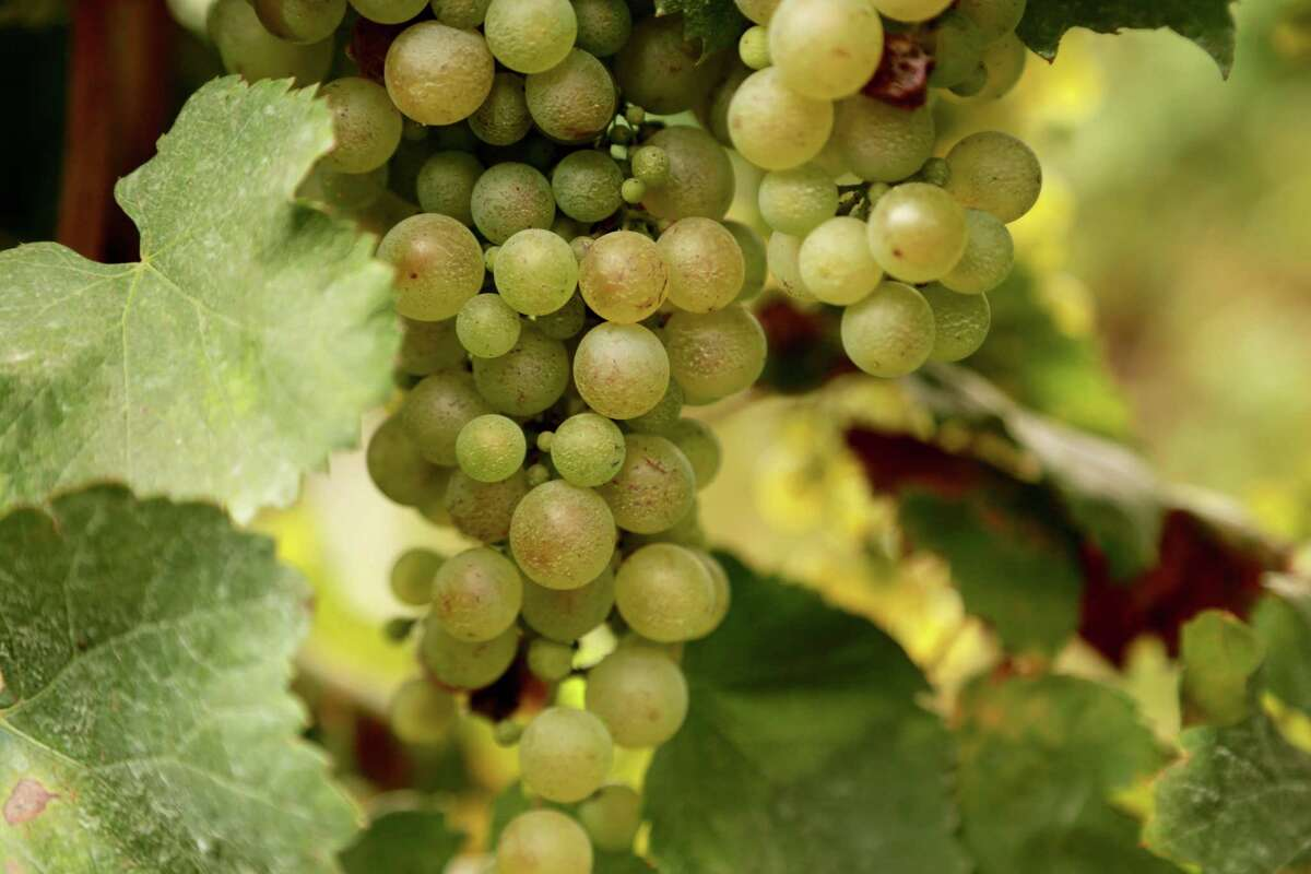 A cluster of glera grapes growing in Italy's prosecco country. Glera is the white grape that traditionally goes into the popular bubbly.