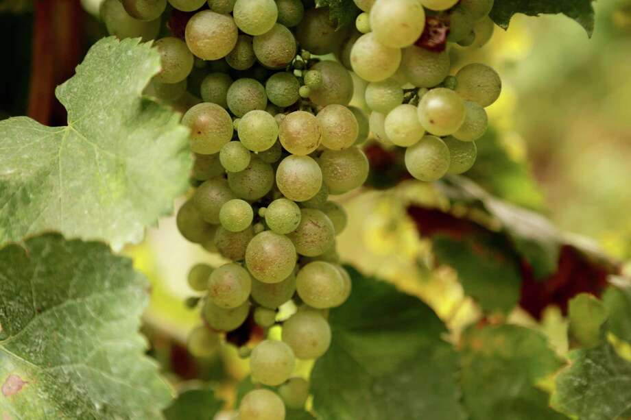 A cluster of glera grapes growing in Italy's prosecco country. Glera is the white grape that traditionally goes into the popular bubbly. Photo: Michelle Locke, HONS / Michelle Locke