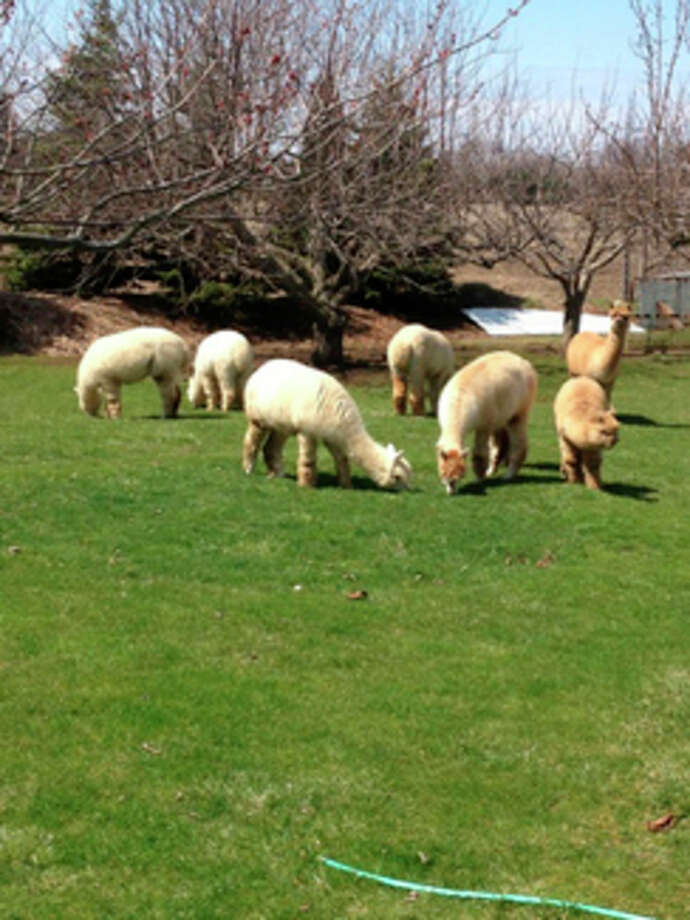 In this provided photo, alpacas from Alpaca Adventures of Mid-Michigan, owned and operated by Mark and Barb Schick, graze on the couples' 30-acre property in Williams Township.
