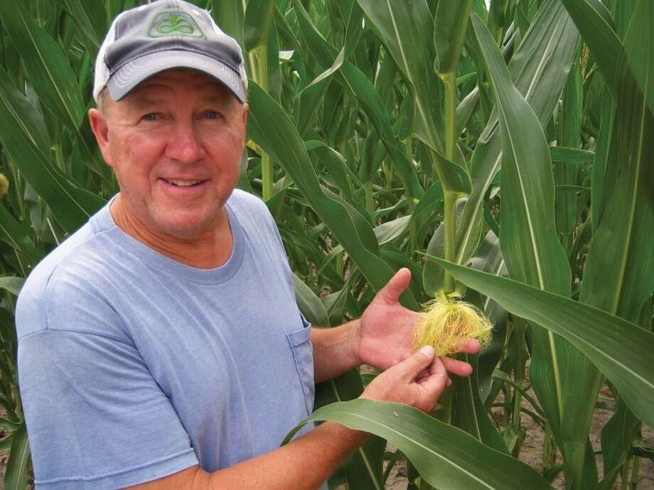 Steven Engelke checks the silk located at the top of a ear of corn to determine if pollination has taken place - and it hasn't. The silk coming out of the top of the ear of corn is still green.Silk turns brown at the top of the strands when pollinated.
