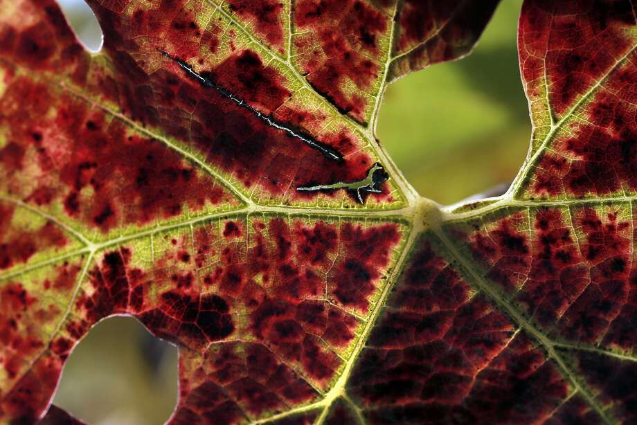 A cabernet leaf at Farella Winery where Sam Sheehan, owner and winemaker of Poe Wines, produces her wine. Photo: Carlos Avila Gonzalez, The Chronicle