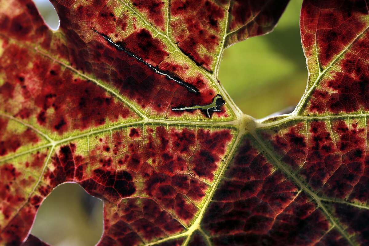 A cabernet leaf at Farella Winery where Sam Sheehan, owner and winemaker of Poe Wines, produces her wine in Napa, Calif., on Tuesday, November 1, 2016.