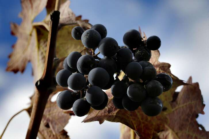 A cluster of cabernet grapes at Farella Winery where Sam Sheehan, owner and winemaker of Poe Wines, produces her wine in Napa, Calif., on Tuesday, November 1, 2016.