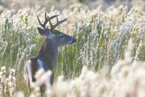While Texas' white-tailed deer have benefited from an abundance of vegetation fueled by timely rainfall, the thick cover could make hunting more challenging.