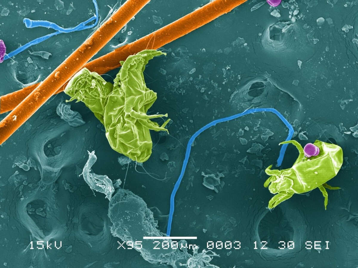 A scanning electron micrograph of home dust including arthropod fragments, spider web silk, pollen, and fibers. (Image courtesy of Anne A. Madden and Robert McGugan/University of Colorado Boulder)