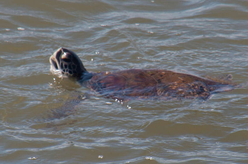 A handful of sea lion keepers volunteering in the Surfside area cleaning up near a jetty helped save the life of a sea turtle tangled in discarded fishing line. The endangered creature was later turned over to a sea turtle facility in Galveston for observation.