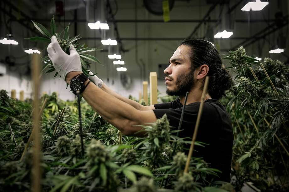Production supervisor Joshua Ramos cuts marijuana buds at Butterbrand farms. Photo: Gabrielle Lurie, The Chronicle