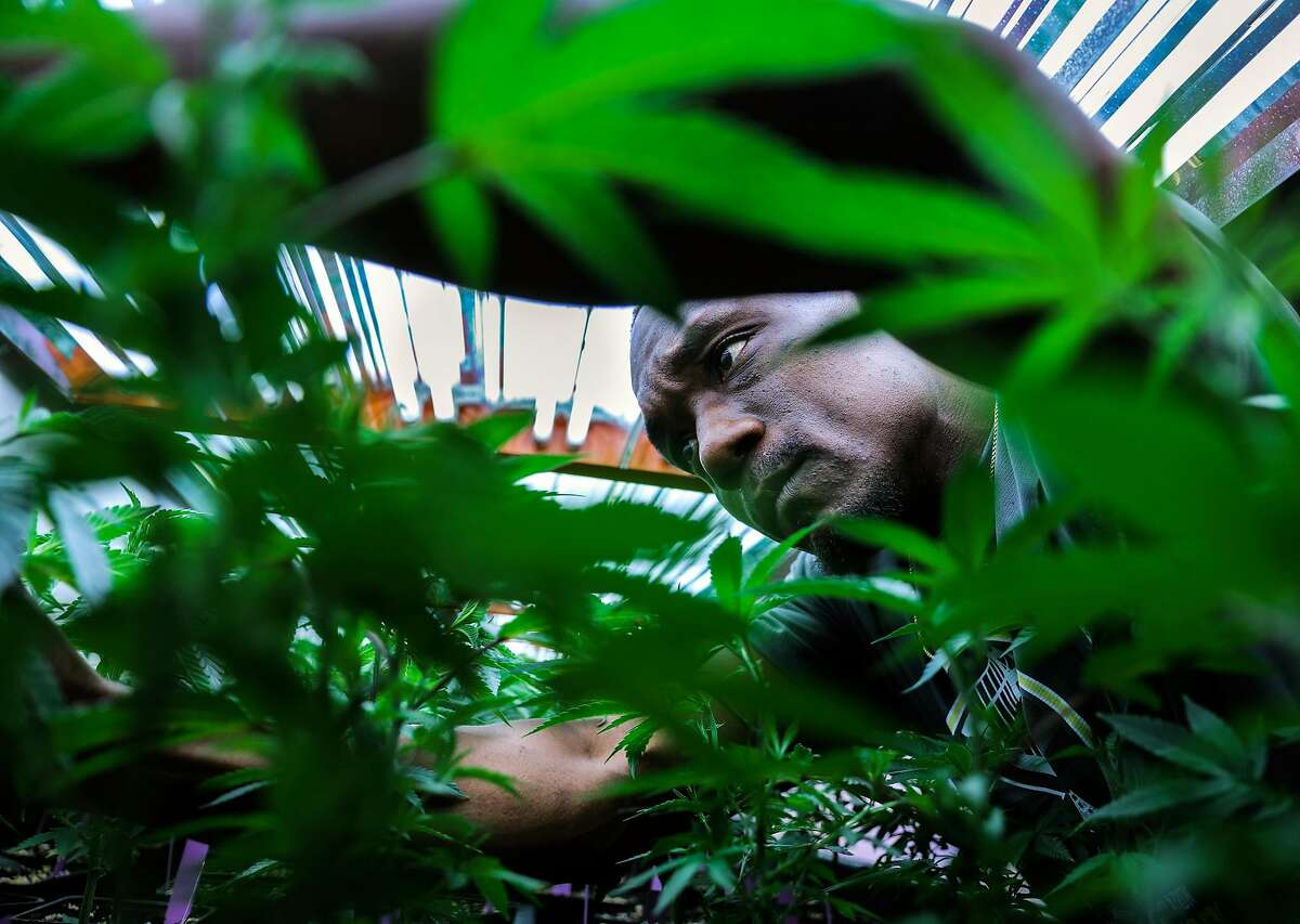 Vegetative specialist Lavorisa McGary tends to marijuana plants at ButterBrand farms in San Francisco, California, on Friday, Oct. 28, 2016.
