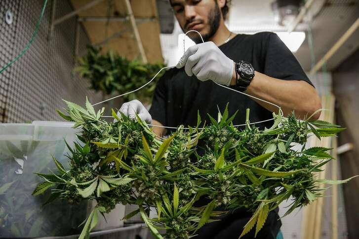 Production supervisor Joshua Ramos hangs marijuana plants to dry, at ButterBrand farms in San Francisco, California, on Monday, Oct. 31, 2016.