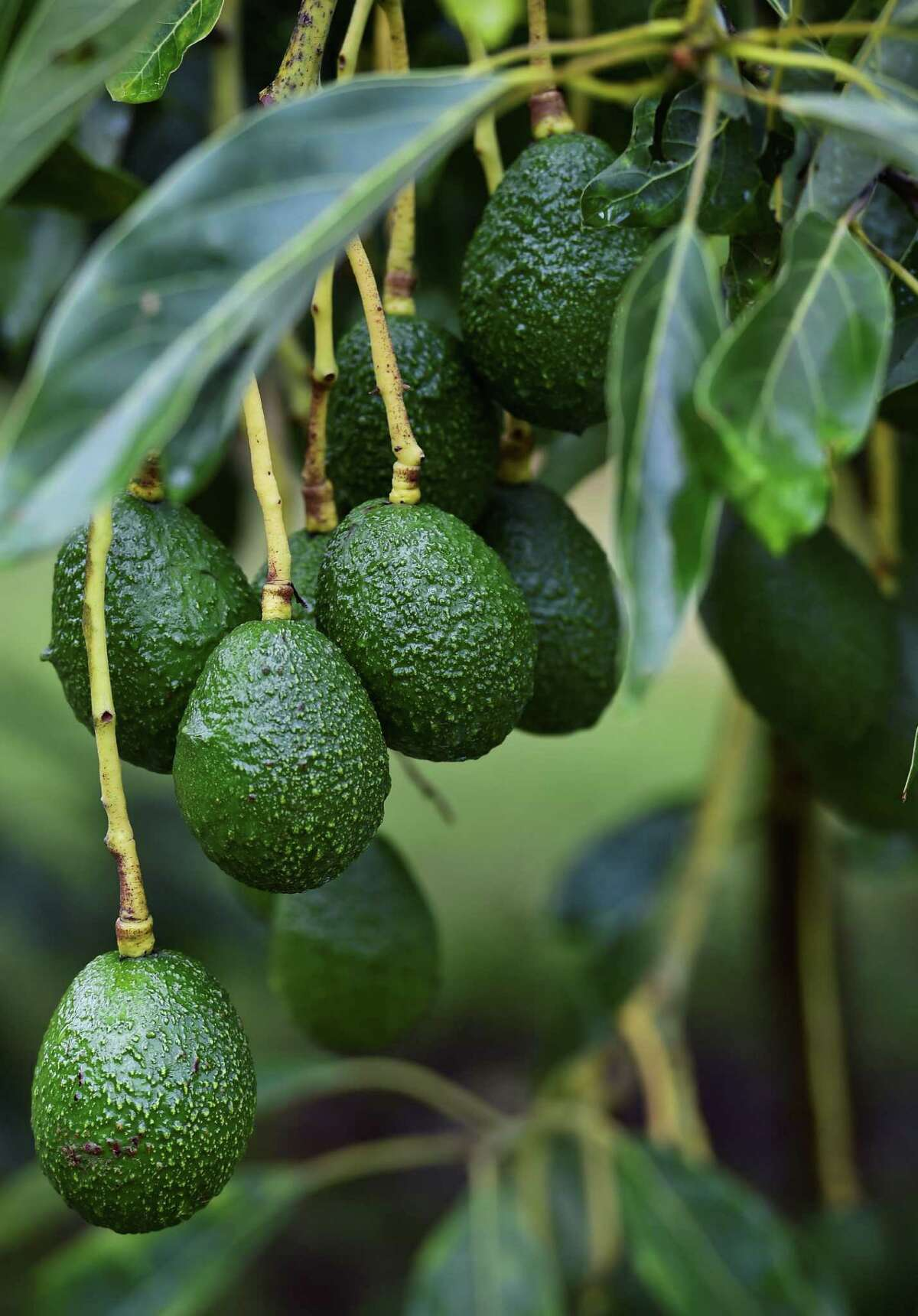 A dispute between avocado growers and packing companies in Mexico left U.S. wholesalers scrambling to find new sources for the knobby green fruit wherever they could, upping shipments from Chile, Peru and the Dominican Republic.