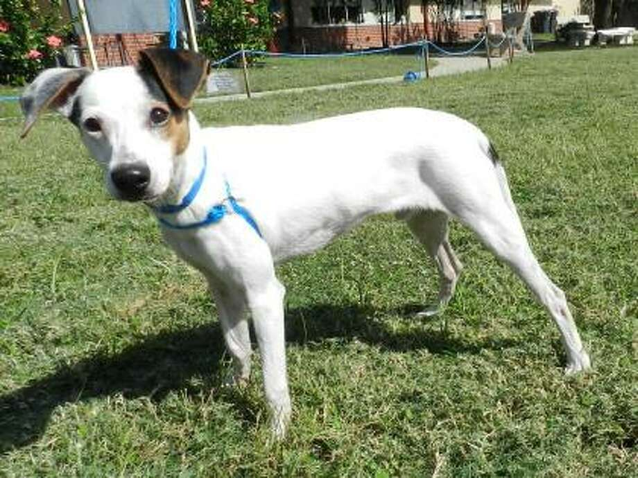 Pete will be available for adoption at 11 a.m. Friday at Citizens for Animal Protection, 17555 Interstate 10 W. More information: cap4pets.org or 281-497-0591. Photo: Citizens For Animal Protection