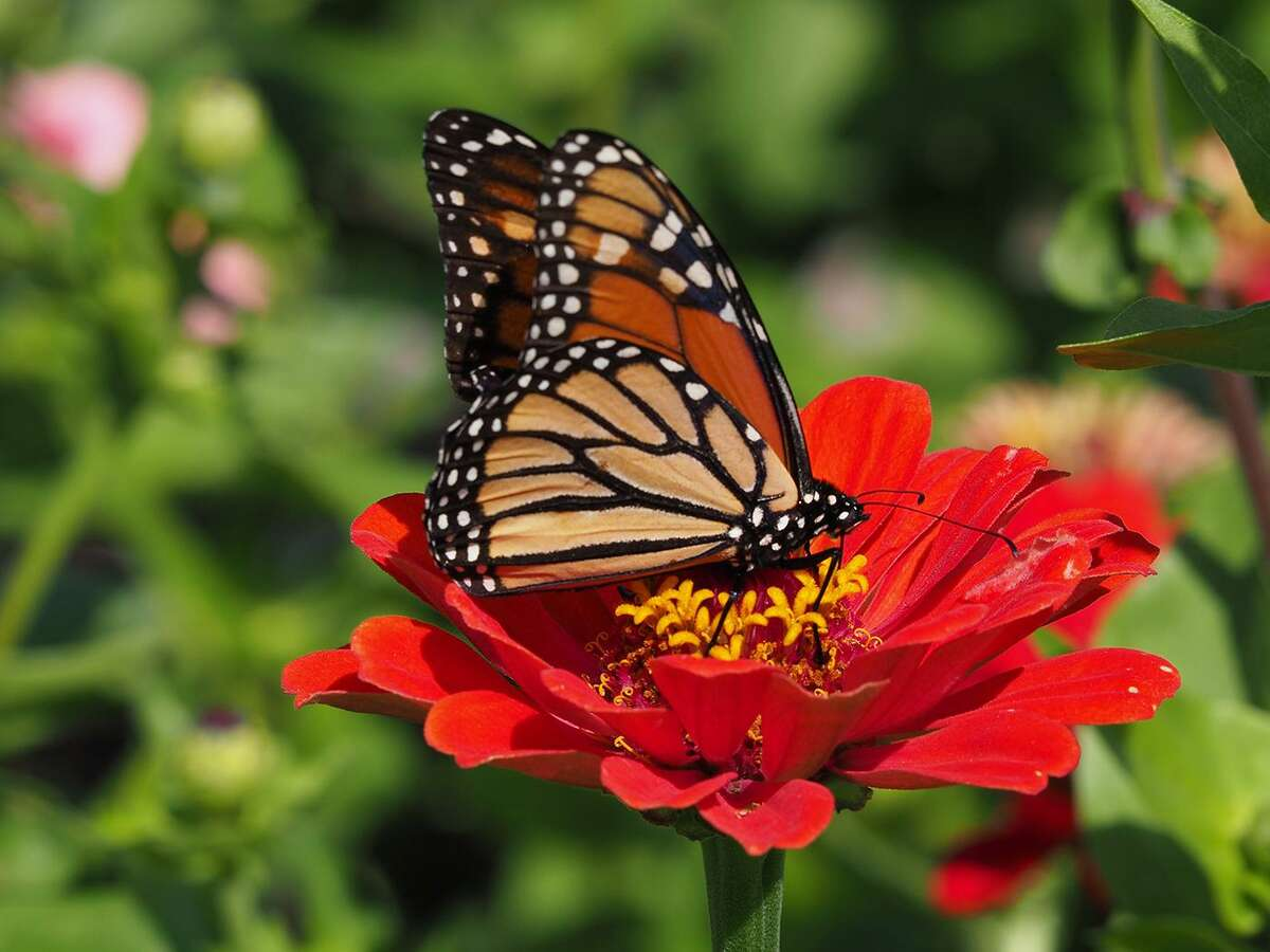 Monarch butterfly stops for nectar on an orange zinnia.