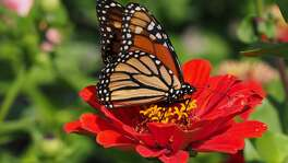 Zinnias make a great nectar source for butterflies.