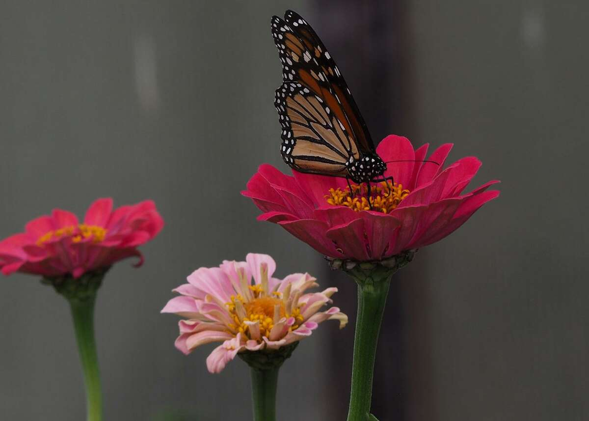 Monarch butterflies that pass through San Antonio next spring will appreciate the nectar of flowers such as these pink zinnias.