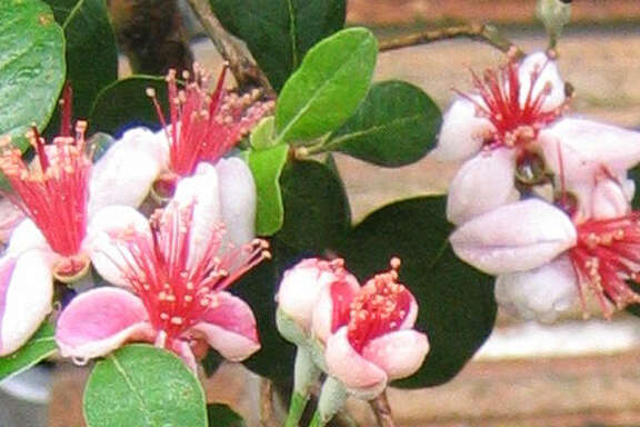 The super-hardy pineapple guava (Feijoa sellowiana) would work well as a hedge for privacy along a fence. The evergreen shrub features white blooms with prominent red stamens.