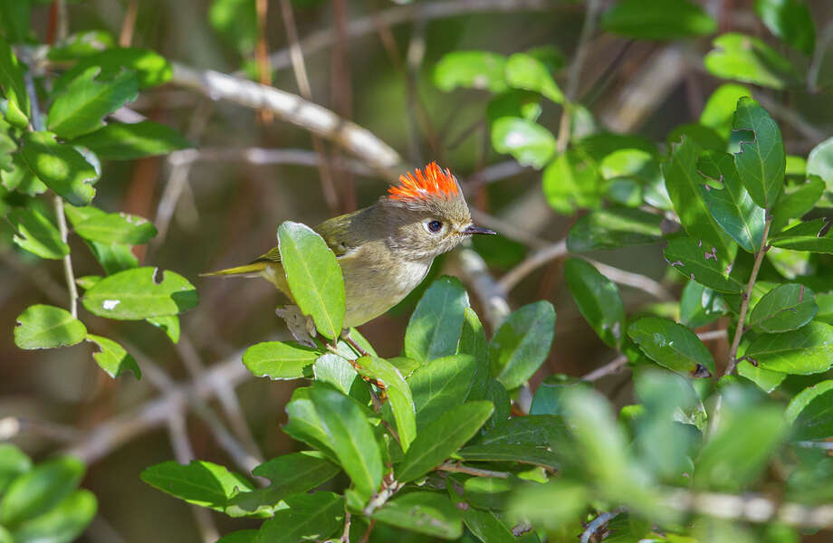 Male ruby-crowned kinglets will erect a crown of red feathers when excited. Photo: Kathy Adams Clark / Kathy Adams Clark/KAC Productions