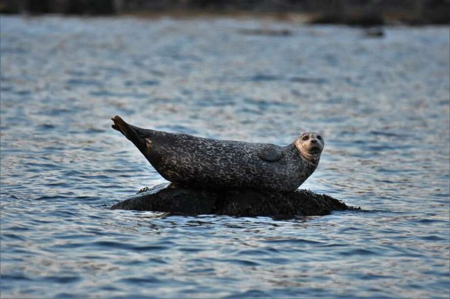 A herd of seals, including one seen here Wednesday, Nov. 2, 2016, has migrated to the waters off Island Beach in Greenwich. Photo credit: Patty Doyle Photo: Contributed