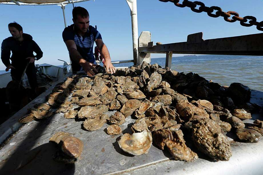Captain Shpend Berisha checks his oyster haul on Prestige Oysters boat the Hustler last December in Galveston Bay. The closure of oyster beds in five bays along the Gulf Coast has impacted the industry. Photo: James Nielsen, Staff / © 2015  Houston Chronicle