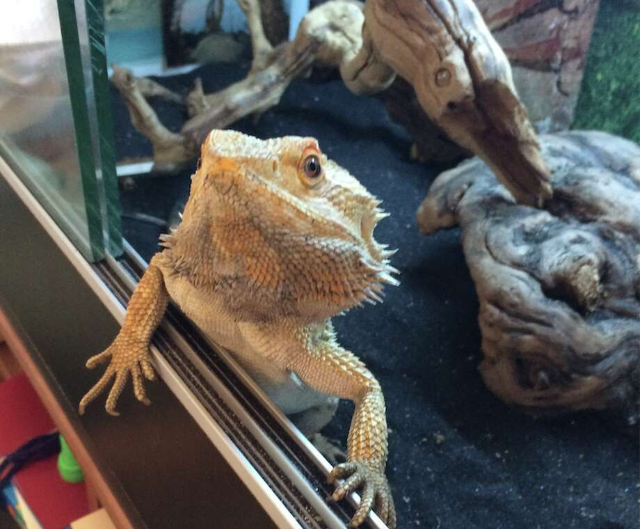 Help Find Sticky The Missions Missing Bearded Dragon Sfgate