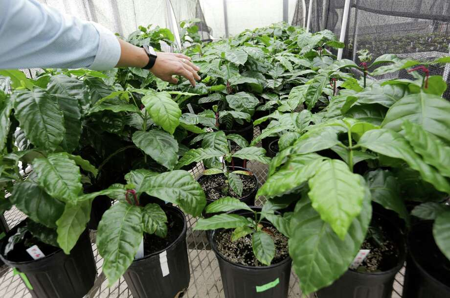 Texas A&M professor Leo Lombardini, points to soil study coffee plants as part of World Coffee Research on Thursday, Oct. 20, 2016, in College Station. Photo: Elizabeth Conley, Houston Chronicle / © 2016 Houston Chronicle