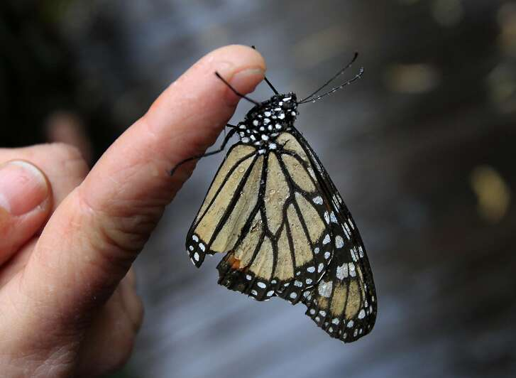 A wintering Monarch butterfly at the Natural Bridges State Beach Sunday February 2, 2014 in Santa Cruz, Calif. Mexico scientists have noted a 43 percent drop in the monarch butterfly population that is wintering in that area. There may also be an increase in the numbers of monarchs wintering in California.