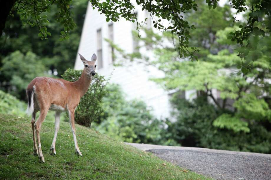FILE -- A deer in Hastings-on-Hudson, N.Y., where the proposals to cull the deer population through lethal means prompted a fierce backlash, June 27, 2013. The town decided to reduce the deer population through birth control, a time-consuming process that began in early 2014 and has not produced any marked change as of 2016, residents say. (Susan Stava/The New York Times) ORG XMIT: XNYT41 Photo: SUSAN STAVA / NYTNS