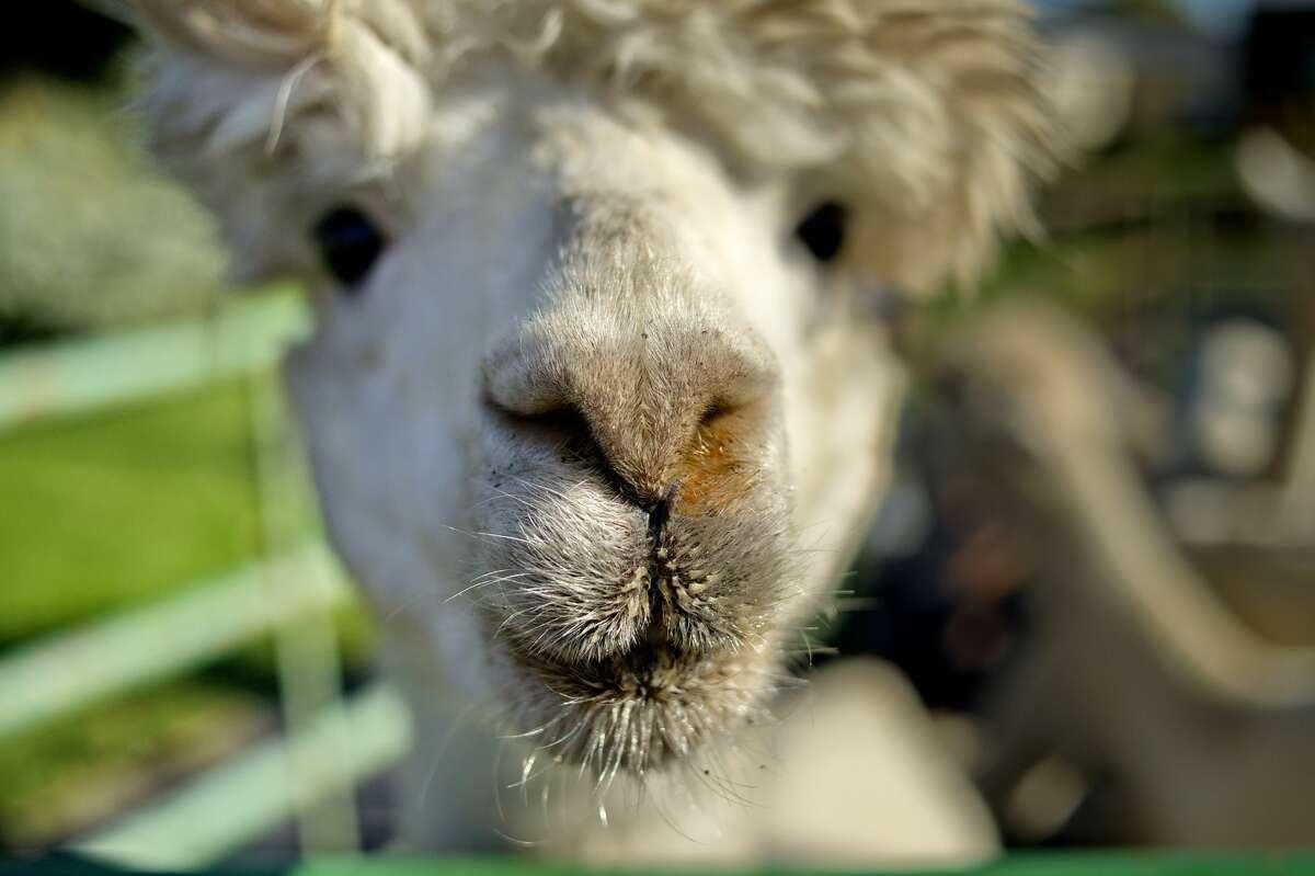 Rowanwood Farm, Newtown Go hiking with mini llamas