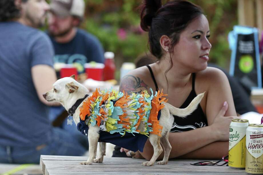 """Dressed as a pinata, ÒHoney,Ó a five-year-old Chihuahua, waits for the start of a costume contest during the """"Dia de los Perros,"""" event at the Alamo Ice House, Sunday, Nov. 6, 2016. The event was a fundraiser for homeless pets of San Antonio. The event featured a costume contest for dogs and monies raised benefited SNIPSA, an organization that helps homeless and unwanted animals in the city. With Honey is her owner, Elizabeth Balderrama. Photo: JERRY LARA, Staff / San Antonio Express-News / © 2016 San Antonio Express-News"""