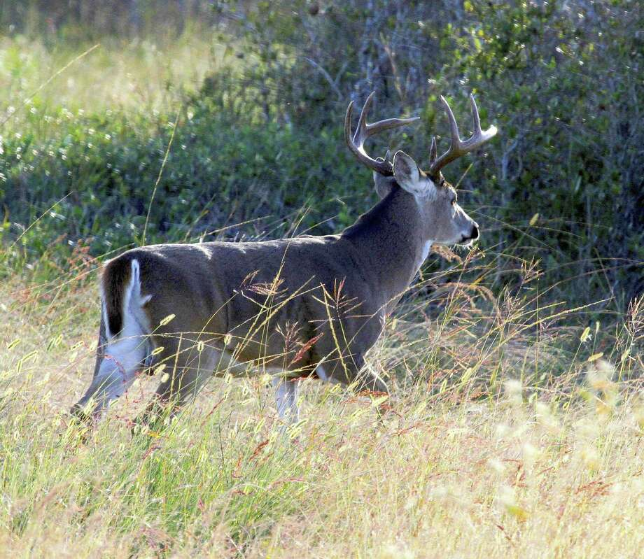 Texas' deer herd, the largest in the nation at 4-million-plus, head into the 2016-17 general white-tailed deer hunting season in excellent body condition and with better-than-average antler development thanks to generally outstanding habitat conditions over the past year. Photo: Shannon Tompkins
