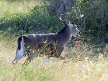 Texas' deer herd, the largest in the nation at 4-million-plus, head into the 2016-17 general white-tailed deer hunting season in excellent body condition and with better-than-average antler development thanks to generally outstanding habitat conditions over the past year.
