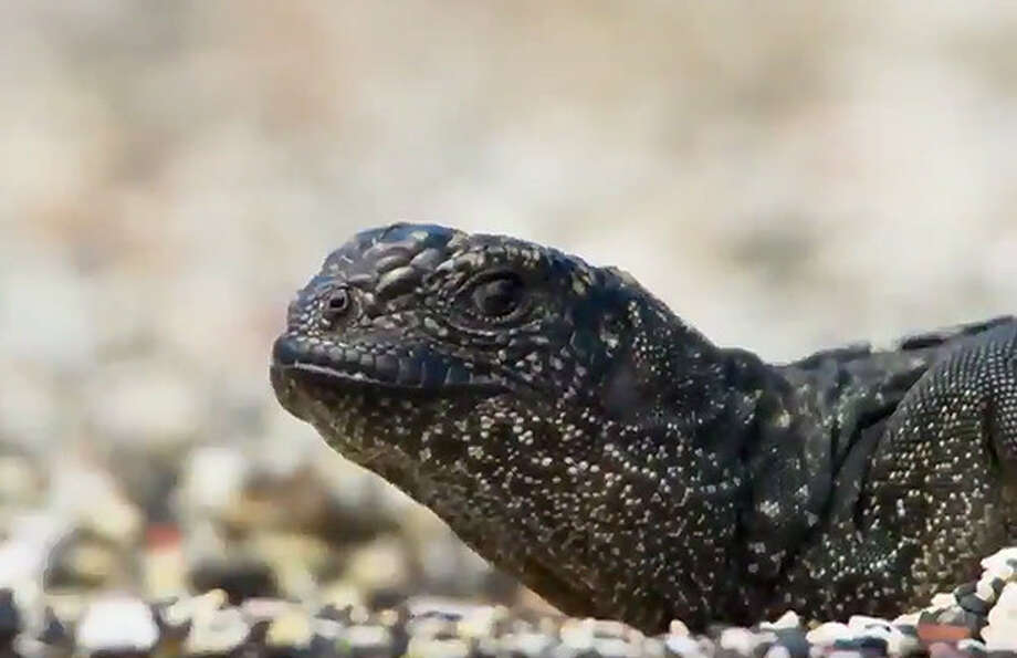 Lizard Impossibly Outrunning Army Of Snakes Will Make You Forget