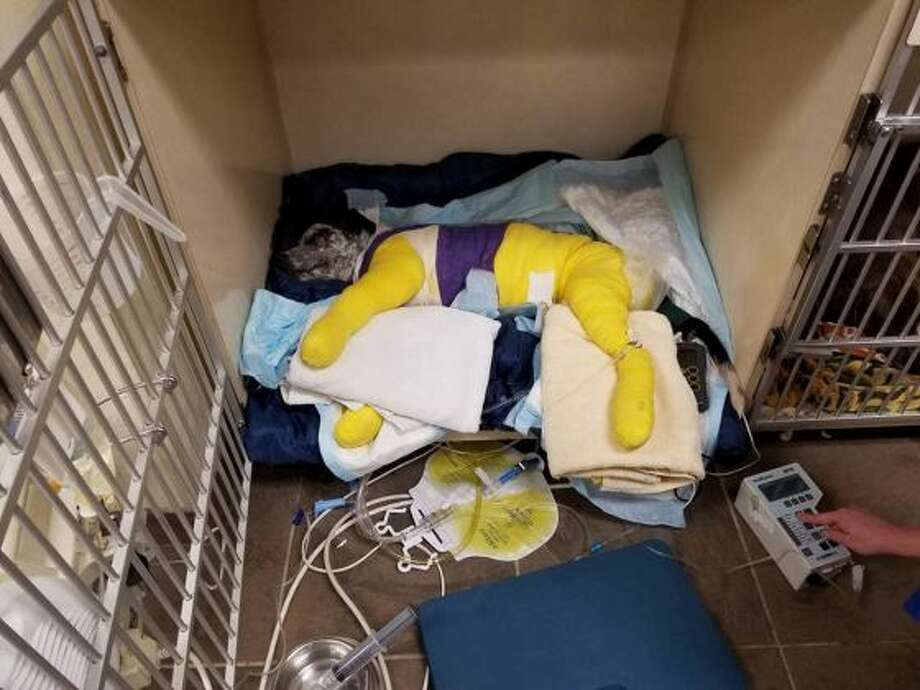 Arlo, a 5- to 6-month-old Australian Cattle Dog, was dragged behind a truck near Dickinson, Nov. 7, 2016. Photo: Houston K-911 Rescue/Galveston County Health District