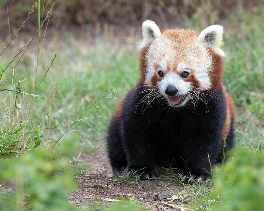 One of the red pandas at the San Francisco Zoo. (Photo by Marianne Hale)