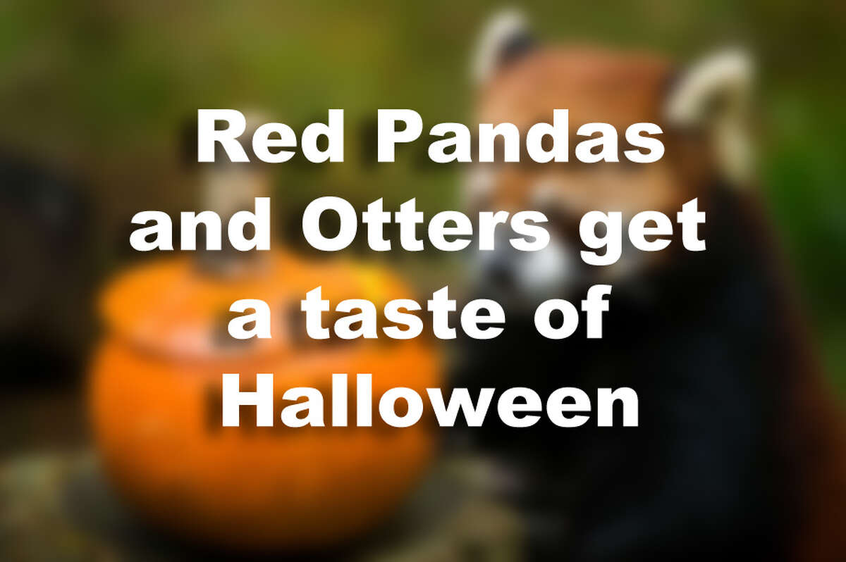 Red Pandas and Otters get a taste of Halloween