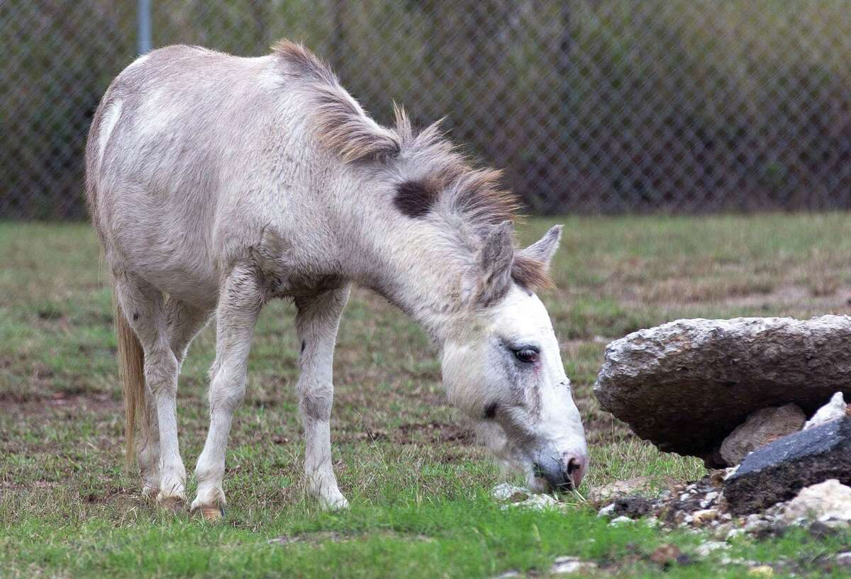 A miniature horse grazes after it was pinned at Clayton Lee Plumbing after being found wondering south of West Davis St. Tuesday, Nov. 8, 2016, in Conroe.
