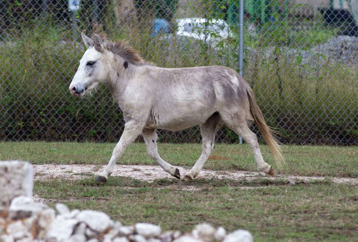 A miniature horse found south of West Davis St. Tuesday, Nov. 8, 2016, in Conroe. The horse was captured at Clayton Lee Plumbing where Montgomery County Precinct 5 Animal Control retrieved the animal.