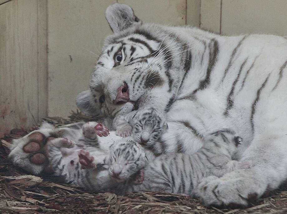 Mom cuddles her babies — but keeps an eye out for danger too! Photo: Czarek Sokolowski, Associated Press