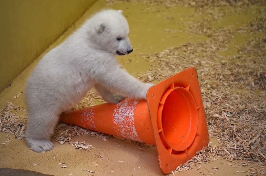 A polar bear cub dances with her safety cone friend!  Photo: Carmen Jaspersen, AP