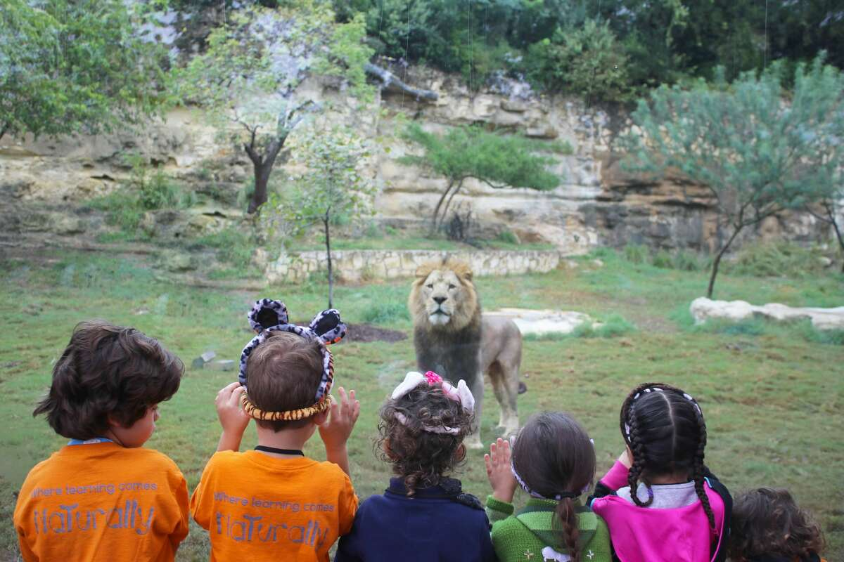 """Big Cat Valley, the San Antonio Zoo's newest upgrade, was unveiled on Nov. 10, 2016 with promises for guests to have more """"face-to-face"""" experiences including the chance to challenge a lion to a tug-of-war contest."""