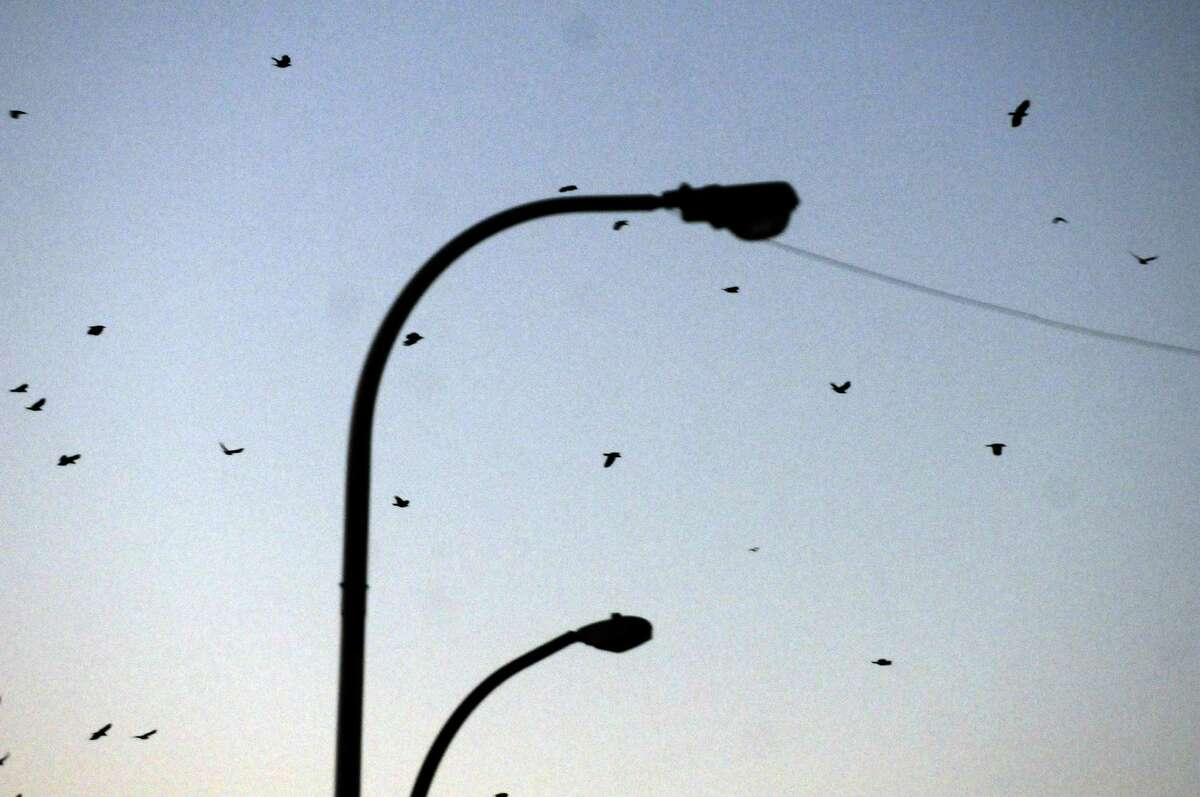 Crows fly above State Street as USDA biologist Bryan Haslun, right, and wildlife specialist Angela Kolewe disperse crows from the buildings around the Capitol on Wednesday Nov. 12, 2014 in Albany, N.Y. (Michael P. Farrell/Times Union)