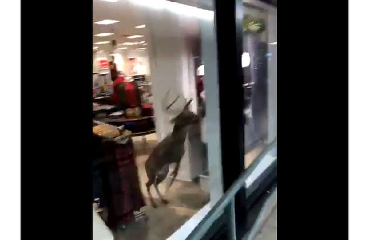 A deer somehow broke into an American Eagle store, then smashed its way back out. >>KEEP CLICKING TO SEE SOME OF THE WORLD'S FUNNIEST ANIMAL PHOTOS.Photo: @alecwill Twitter Screen Shot