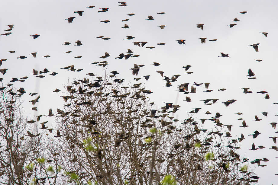 Giant flocks of blackbirds are not out to get you. The birds congregate in winter to find food in a warm and secure location. Photo: Kathy Adams Clark / Kathy Adams Clark/KAC Productions