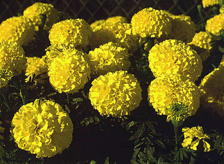 Plant mari-mums in full sun to ensure blooms from September through frost.