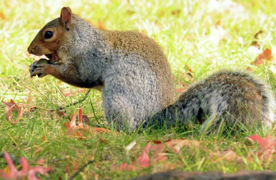 A squirrel snacks on an acorn at Cook Park on Thursday Oct. 22, 2015 in Colonie, N.Y. Ecological scientists say acorns this year are falling in numbers not seen in half a decade, which could have numerous and surprising effects for years to come. This year is what is known as a masting year, which means oak trees are dropping more acorns than usual. Masting years occur once every three to five years.  (Michael P. Farrell/Times Union) Photo: Michael P. Farrell / 10033899A