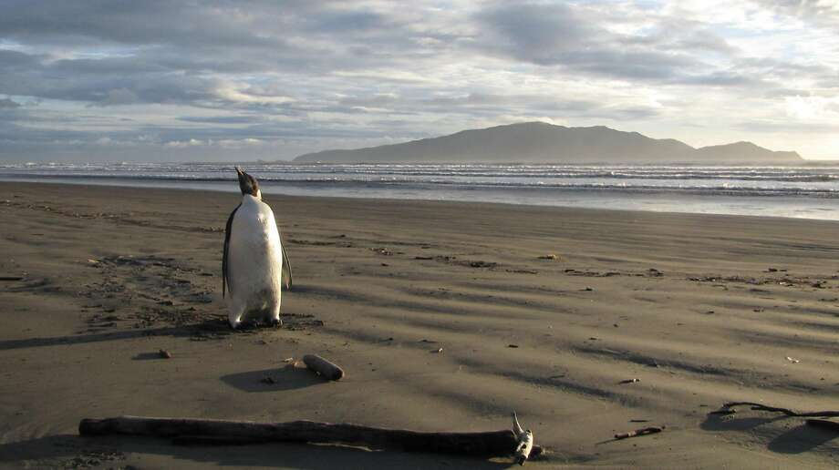 In 2011, a penguin pioneer relocated from Antarctica to Wellington, New Zealand. Wellington has a lot in common with San Francisco, including earthquakes. Photo: RICHARD GILL, AFP/Getty Images