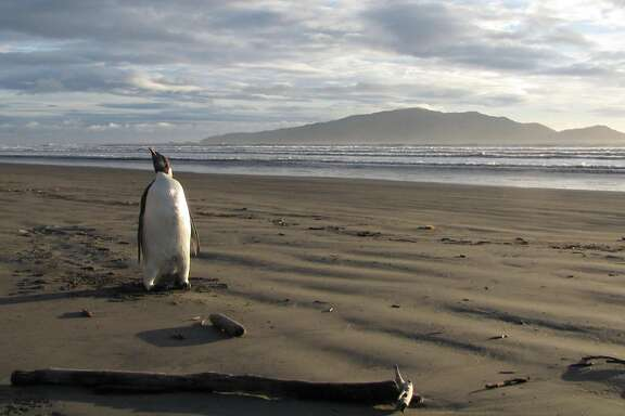 In 2011 a penguin pioneer who relocated from Antarctica to Wellington