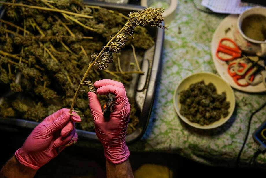 A man named David trims cannabis for the boutique cannabis brand Swami Select, in Mendocino. Photo: Gabrielle Lurie, The Chronicle