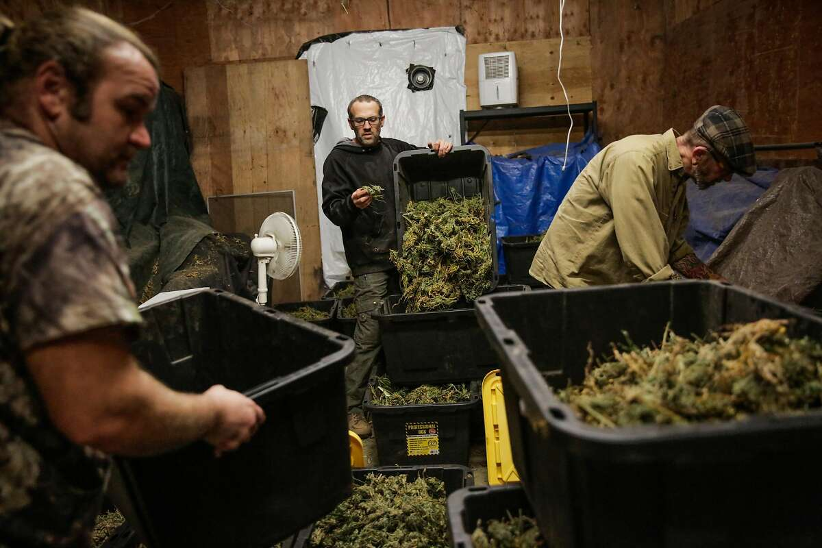 Employee Peyton J. (left), partner Cain G. (center) and founder Robert LeClair, who work at SCXO, a boutique cannabis farm, inspect and move cannabis from one bin to another during the curing process, in Humboldt County, California, on Thursday, Nov. 10, 2016.