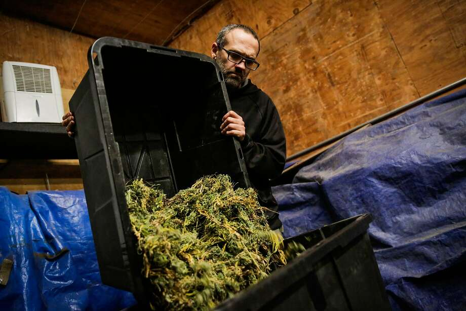 Cain G., who is the farmer for SCXO, a boutique cannabis farm, moves cannabis from one bin to another during the curing process, in Humboldt County, California, on Thursday, Nov. 10, 2016. Photo: Gabrielle Lurie, The Chronicle